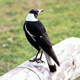 Australian (Black-backed) Magpie