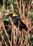 Regent Bowerbird, male