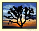 Joshua Tree 2004
