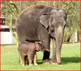 Baby asian elephant born 16.3.04 Whipsnade  Wild  Animal  Park.