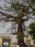 Bat tree.jpg