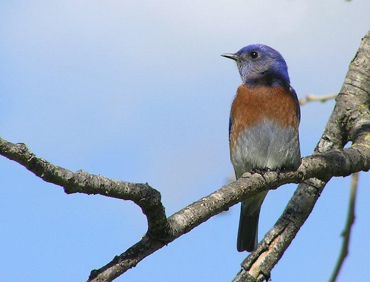 w bluebird male.jpg