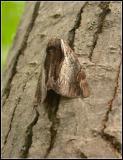 ultronia underwing