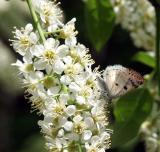 bluish-spring-moth-m8986.jpg