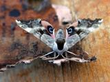 moth-unk-d4657.jpg