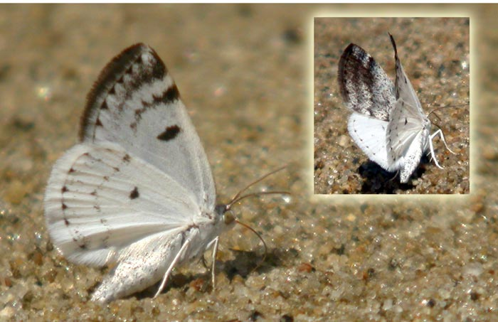 bluish spring moth-N1721.jpg