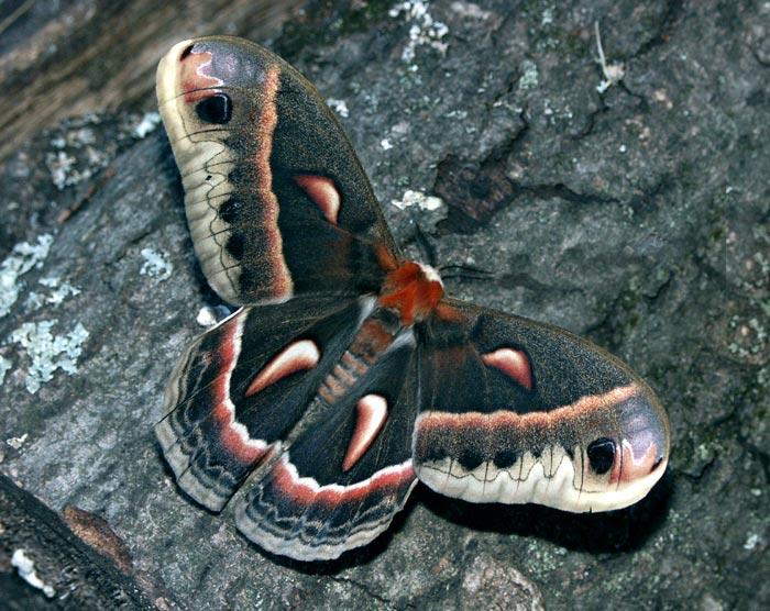 cecropia-m9497.jpg