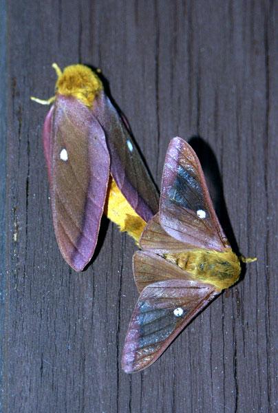 pink-striped-oakworm-m9521.jpg