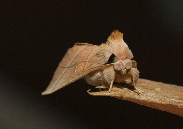 white-dotted-prominent-d430.jpg