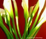 calla lily 12