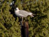 Being watched by Gull.jpg(157)