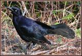 Quiscale noir (Greater Antillean Grackle)