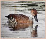 Dendrocygne des Antilles (West Indian Whistling-Duck)