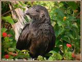 Ani à bec lisse (Smooth-billed Ani)