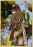 Tyran de la Sagra (La Sagra's Flycatcher)