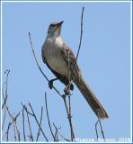 Moqueur des Bahamas (Bahama Mockingbird)