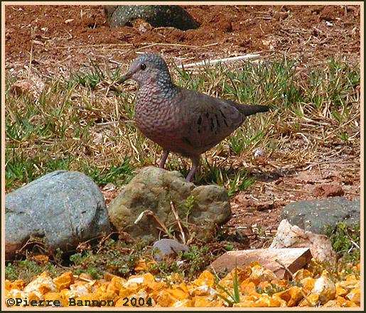 Colombe à queue noire (Common Ground-Dove)