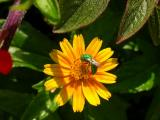 Sweat Bee on Wedelia
