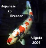 Koi breeder in Niigata