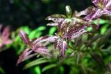 Hygrophila polysperma 'Rosanervig' (Sun Set)