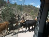 2481 Driving cattle the old fashioned way.jpg