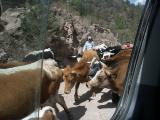 2482 Cattle drive.jpg