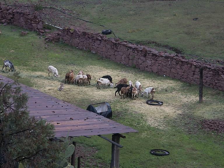2381 Goats.jpg