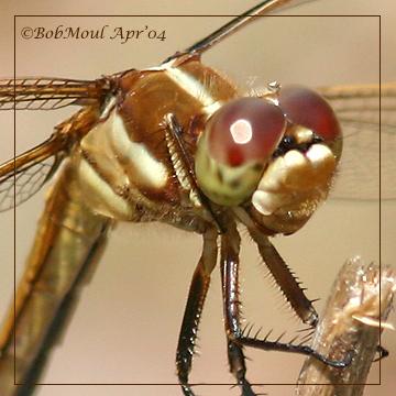 Golden- Winged Skimmer-Female