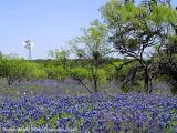 Windmill Bluebonnets