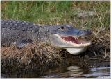 Gator with big mouth!