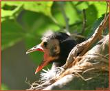 Hungry Grackle Chick