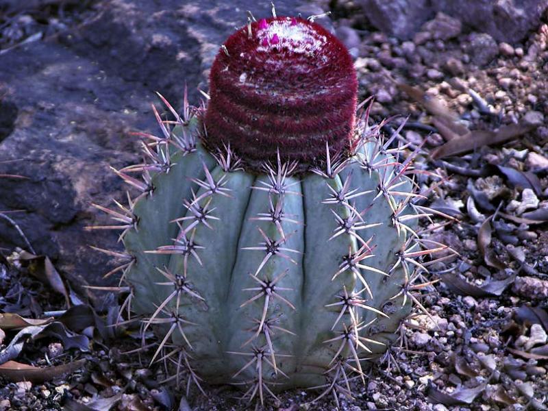 Red Top Cactus