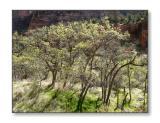 Springtime in Zion CanyonZion Nat'l Park, UT