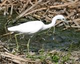 Little Blue Heron - Egretta caerulea (immature)