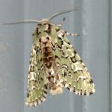 10005 -- The Joker [Jocose Sallow] Moth -- Feralia jocosa