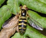 Epistrophella emarginata (female)