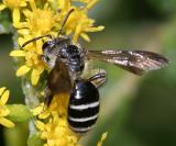 Andrena nubecula