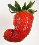 Strawberry 537