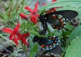Pipevine Swallowtail 2