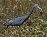 7683 Little Blue Heron