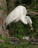 7450 Egret with fish