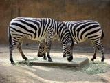 Grants Zebras w/ EXIF data