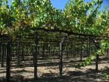 Vineyard, Napa Valley, CA