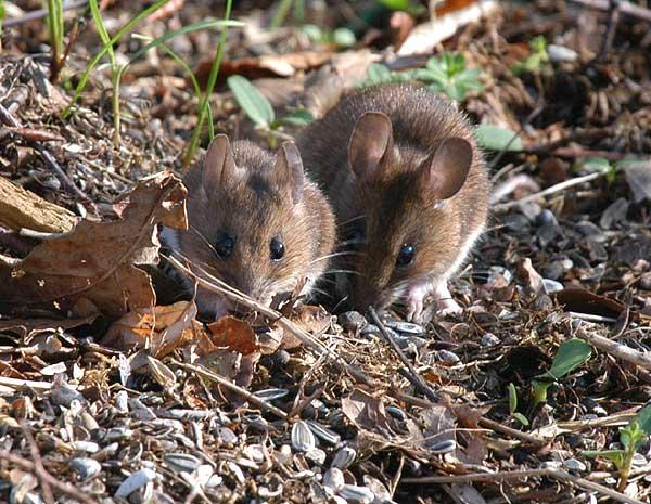 Yellow-necked Mouse- Halsbåndsmus - Apodemus flavicollis