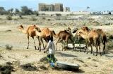 Camels near Kalba