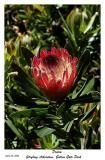 Protea at Strybing Arboretum, Golden Gate Park