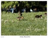 Ducklings at Memorial Park