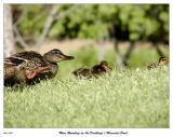 Mom rounding up the ducklings