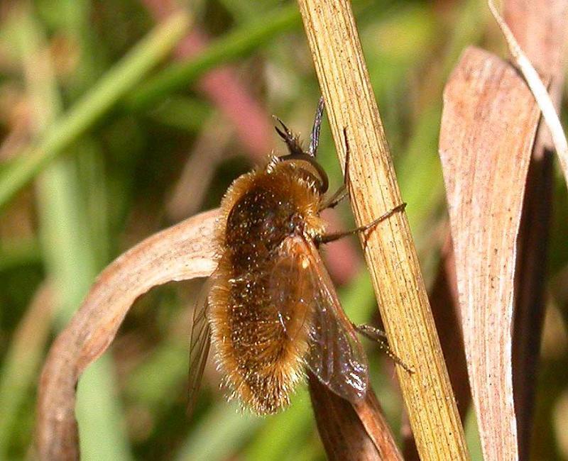 Bee fly -- <i>Bombylius spp.