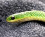 Smooth Green snake  - 3